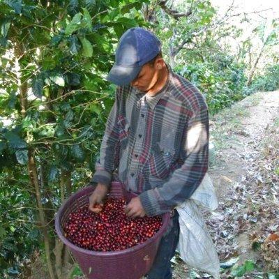 画像3: コスタリカ・ラ・コンチャ農園 中煎り (250g入)